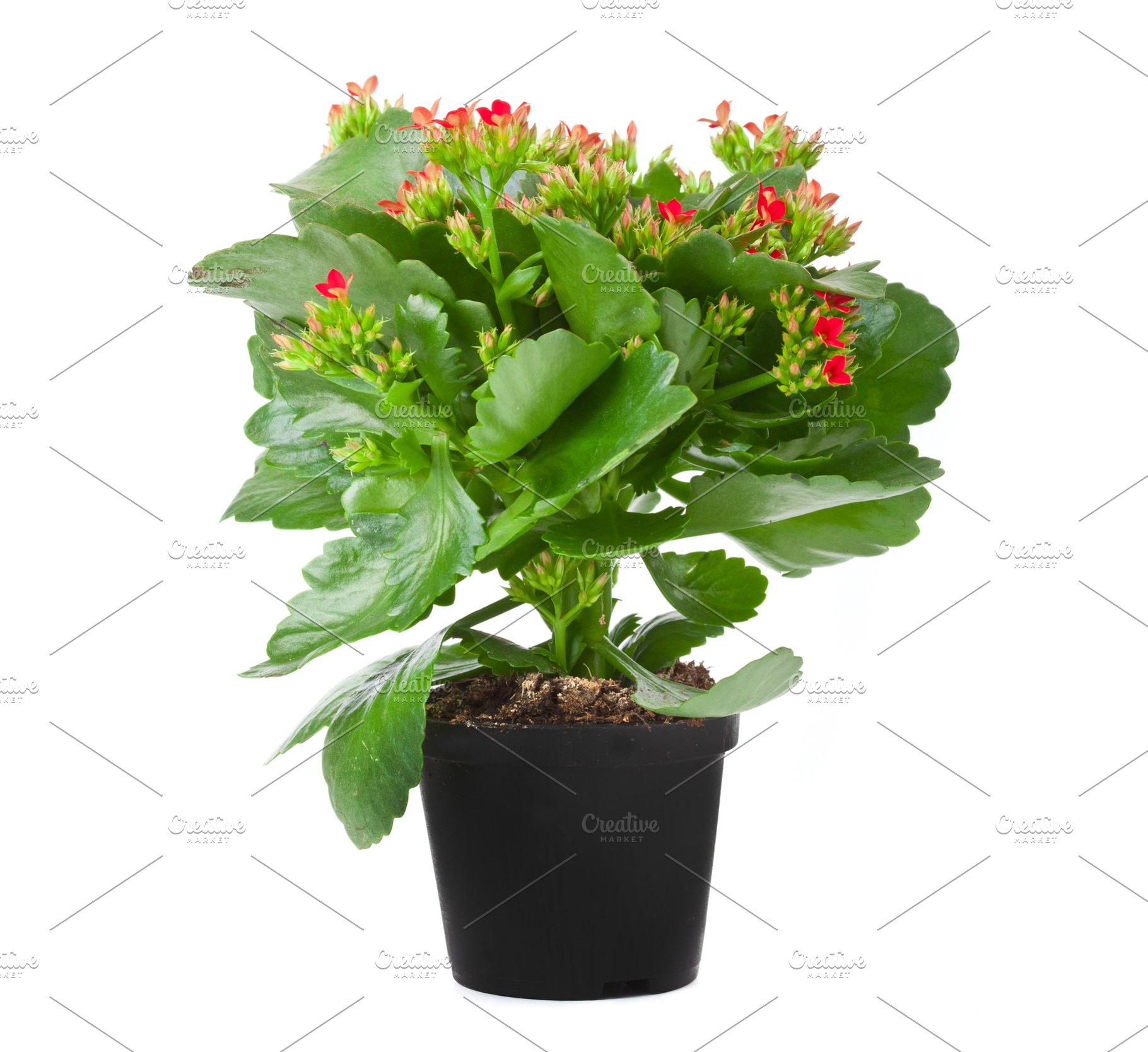 Kalanchoe Flowering Plant In Pot High Quality Stock Photos