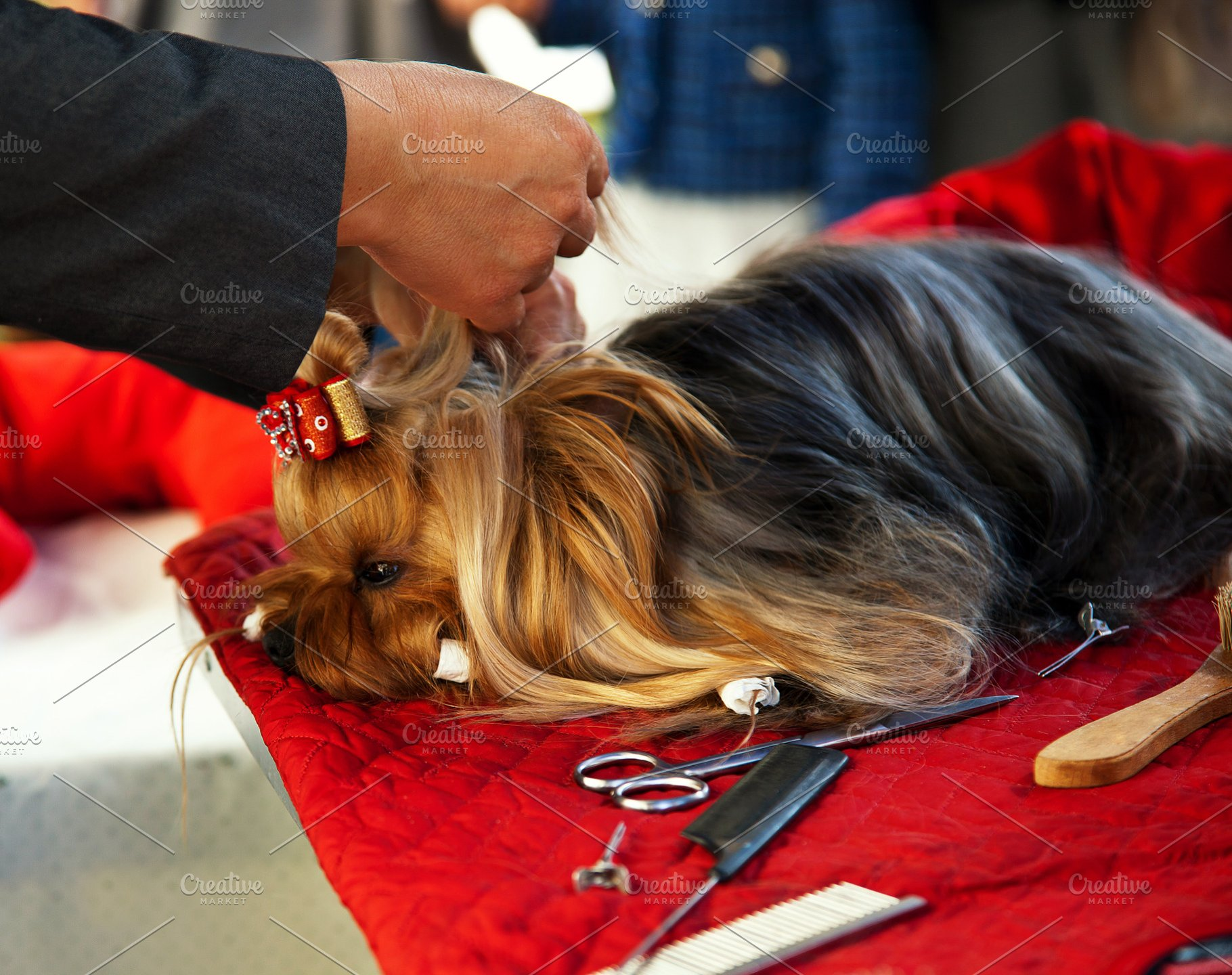 Grooming Yorkshire Terrier Photos Creative Market