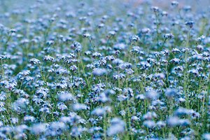 Blue little flowers