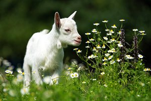 White baby goat standing on green gr
