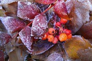 Frozen rowanberries