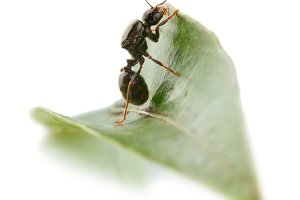 Ant wants to overcome a leaf.