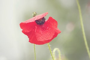 Red poppy flower with water drops