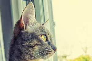 Tabby cat profile