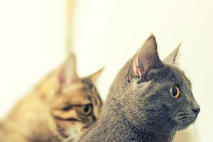 Tabby and gray cats