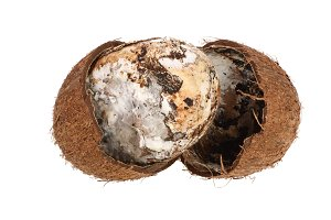 Coconut spoiled with mold isolated