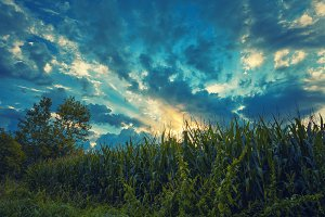 Sunrise on corn fields