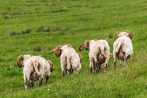 Sheep and lambs in the grasslands