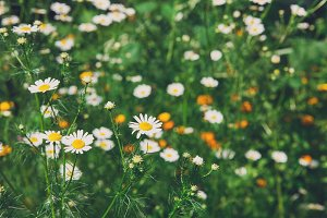 Beautiful field with white camomile