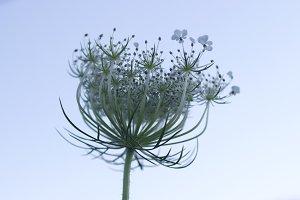 Budding Lace Flower 2