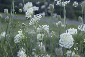 Field of Lace Flowers