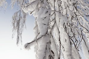 Snow-covered thin birch branches