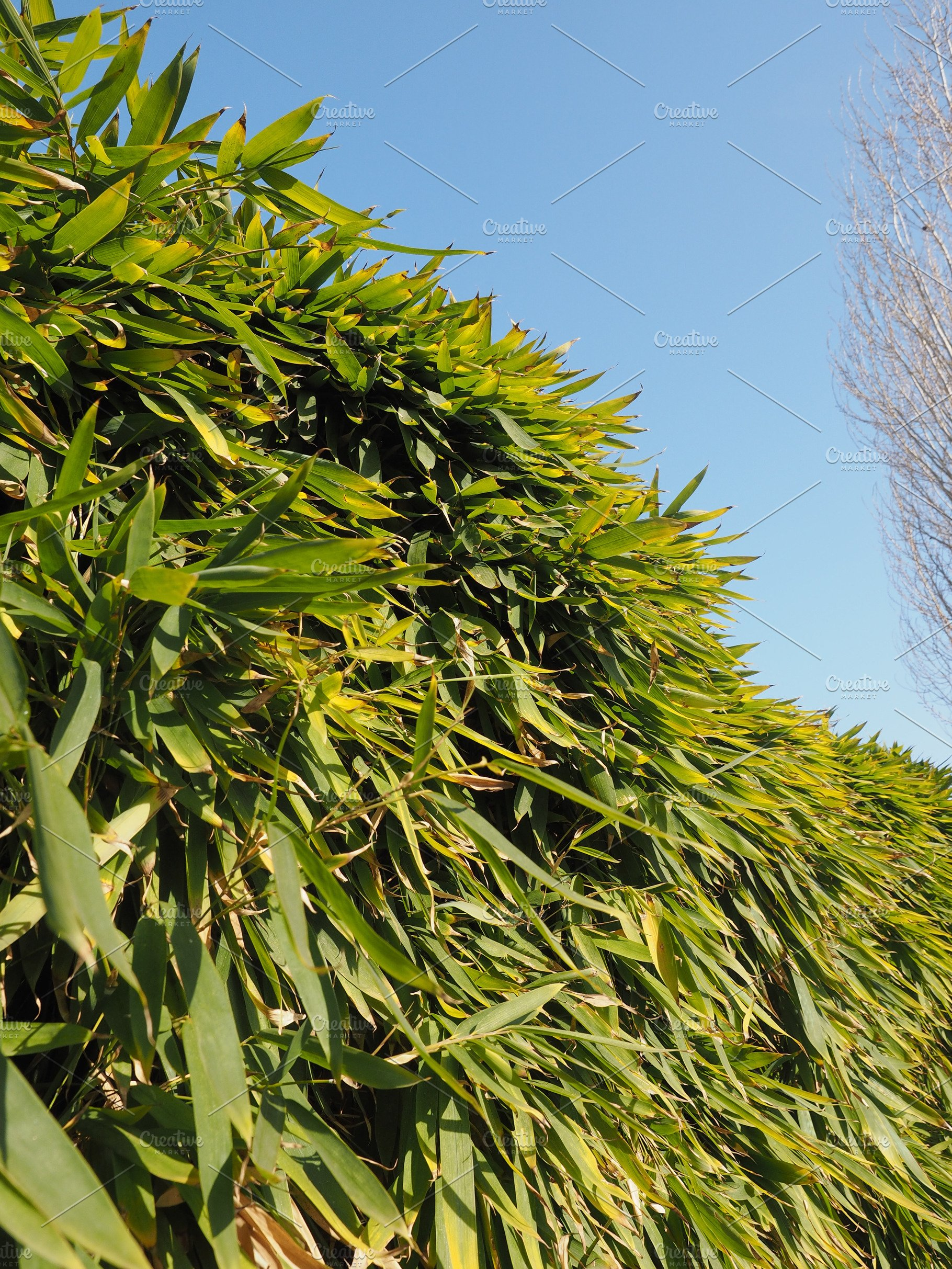 Bamboo Tree Leaves High Quality Stock Photos Creative Market
