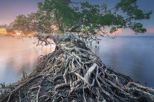 Tree on coast of Borneo, Malaysia
