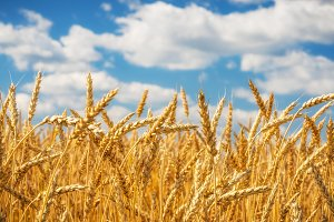 Golden wheat field over blue sky at