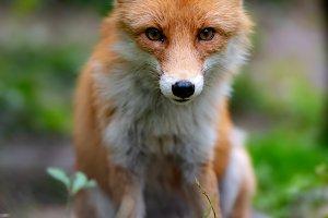 Wild young red fox (vulpes vulpes) v