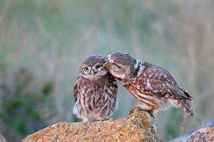 Two little owl (Athene noctua)