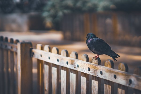 Animal Stock Photos: Visual Motiv - Black pigeon on the top of a fence