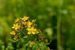 Close up of yellow Common Saint John