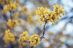 Yellow flowers on a tree with