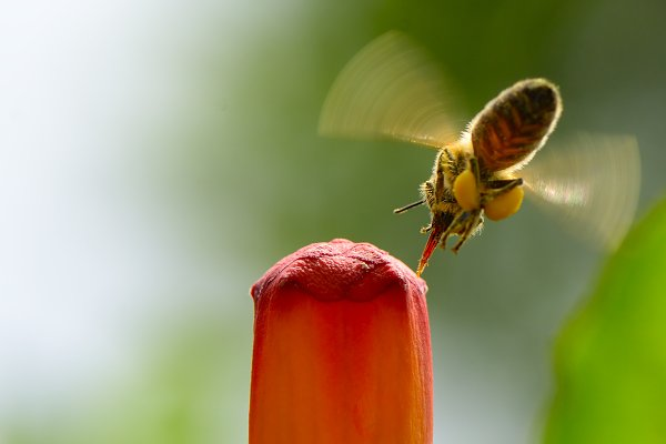Animal Stock Photos - Honey bee pollinates red flower.