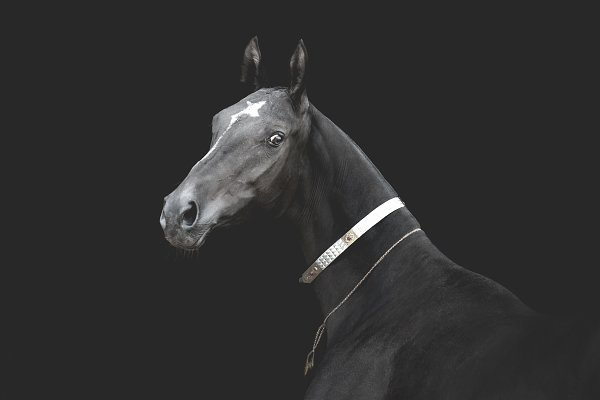 Animal Stock Photos - Akhal-teke horse on black
