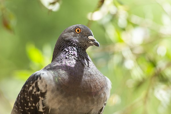 Animal Stock Photos: robdimagery - Feral Pigeon