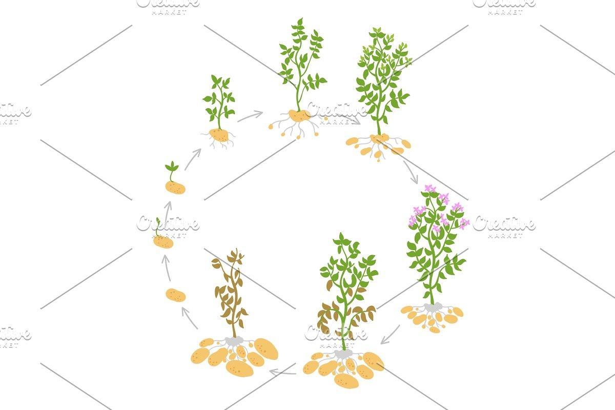 The life cycle crop stages of potato