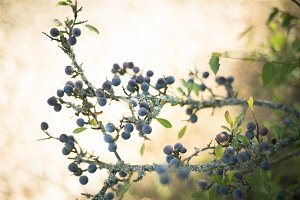 blackthorn berries