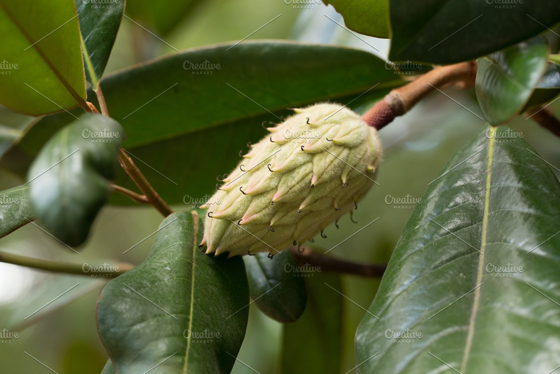 Seed Pods Of The Magnolia Tree High Quality Nature Stock Photos