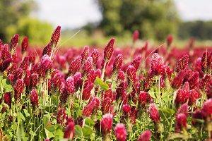 Field of Crimson