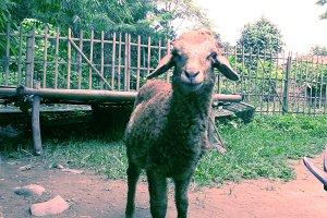 Sheep smile