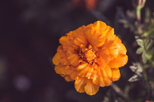 Orange marigold flower (tagete)
