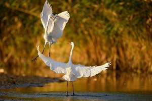 Two white herons jumping