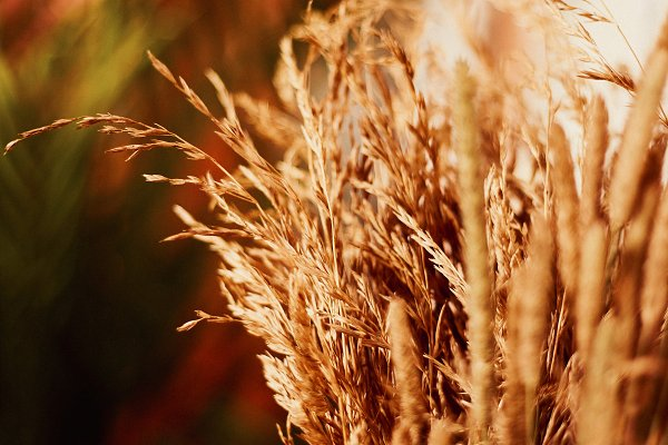 Nature Stock Photos - Feather grass close up in warm tones