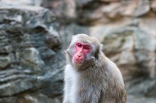 Japanese monkey by  in Animals