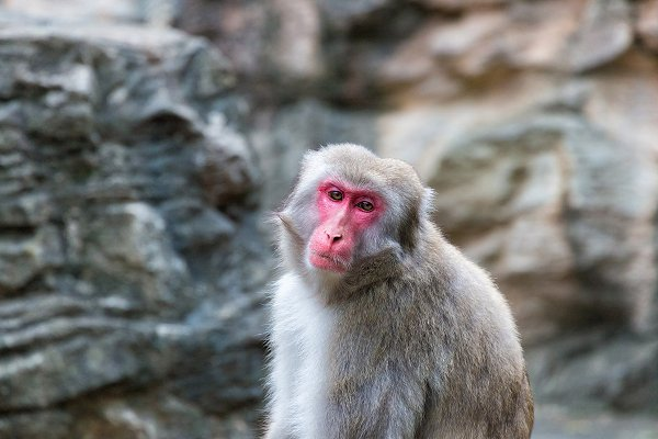 Animal Stock Photos - Japanese monkey
