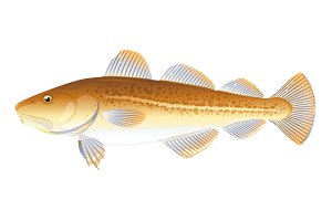Atlantic Cod Fish