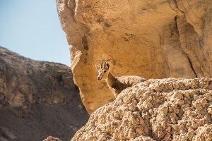 Ibex or alpine goat