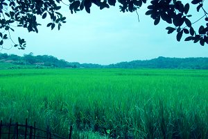 Scenic rice fields