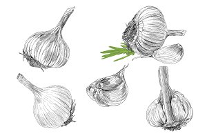 Hand drawn illustrations of garlic
