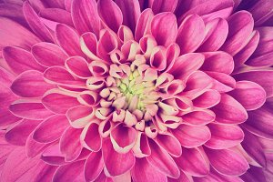 Dahlia pink flower close up