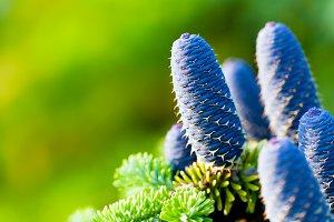 Caucasian fir tree cones close-up
