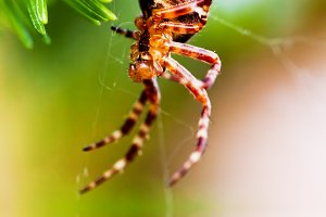 Cross spider close up