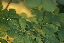 Horse-Chestnut leaves