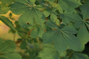Horse-Chestnut leaves