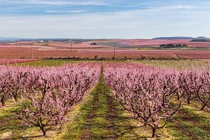 Peach Trees in Early Spring Blooming