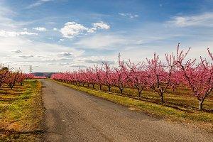 Road Crossing Blooming Peach Trees