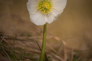 Helleborus niger flower in the sprin