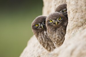 Three young little owls